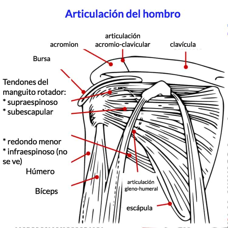 El manguito rotador del hombro: ¿qué problemas puede tener? 🔻 🔻 🔻 🔻